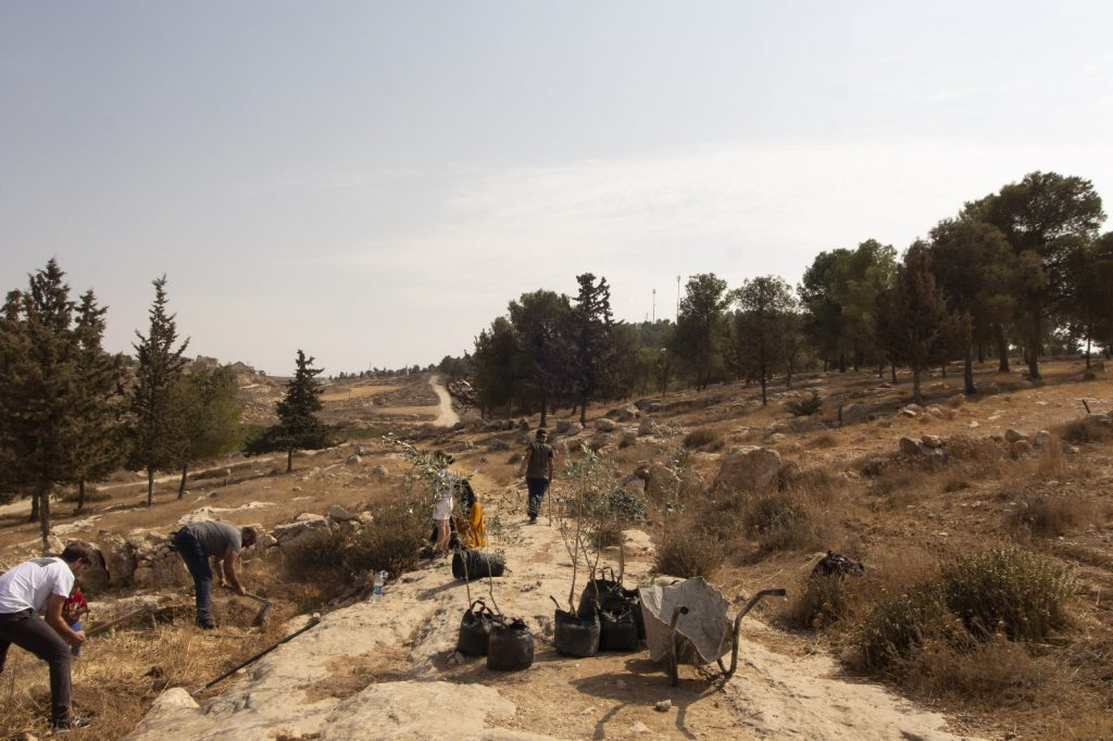 Volunteers planting olive trees.